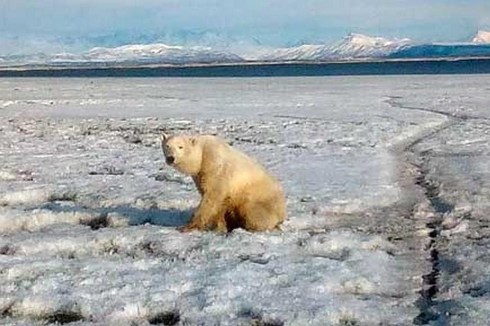 Лучшие специалисты России отправились на спасение белого медведя, приплывшего на льдине на Камчатку
