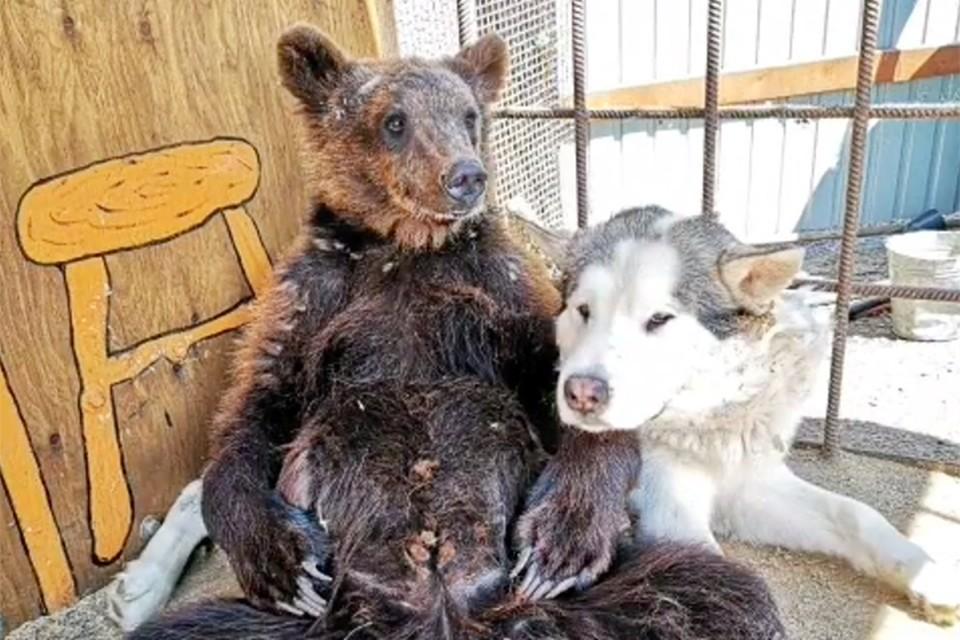 Медведица Маня и маламут Барон вместе обживают сибирском зоопарке. Фото: Instagram «Сибирского зоопарка».
