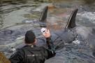 Четвертый пошел: последний отловщик косаток для «китовой тюрьмы» в Приморье оштрафован