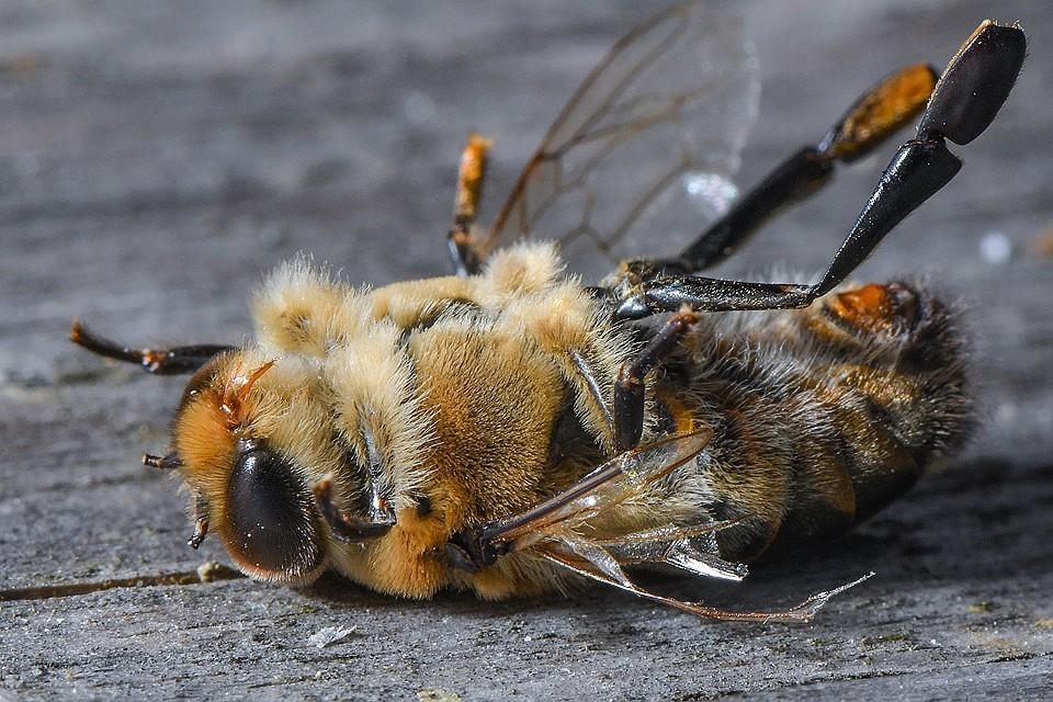 Мор 2019 года начался прямо в разгар медосбора. Регионы потеряли более половины популяции пчел.