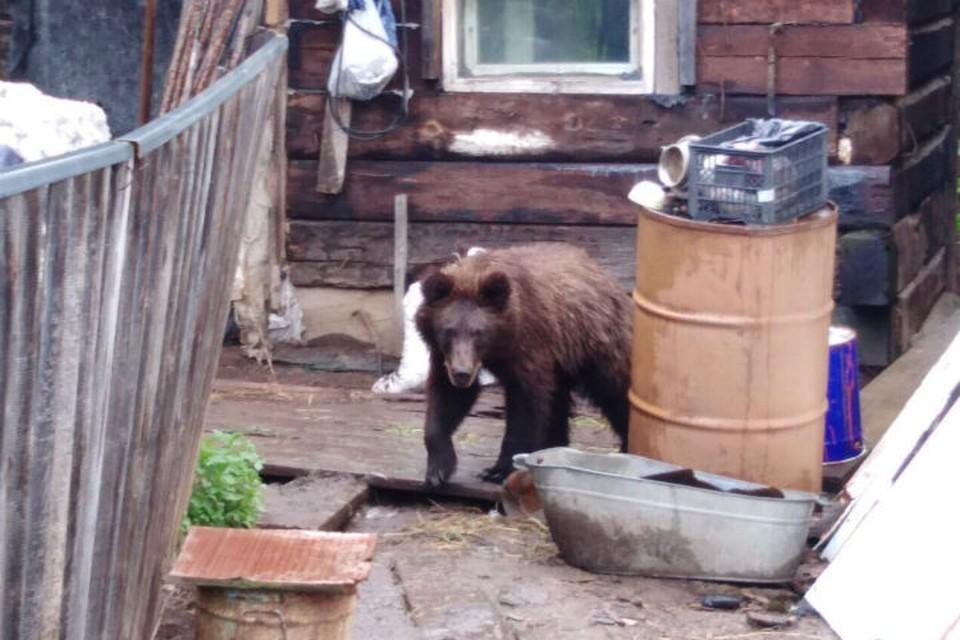 Медведи начали выходить к жилым домам в подтопленных районах Приангарья