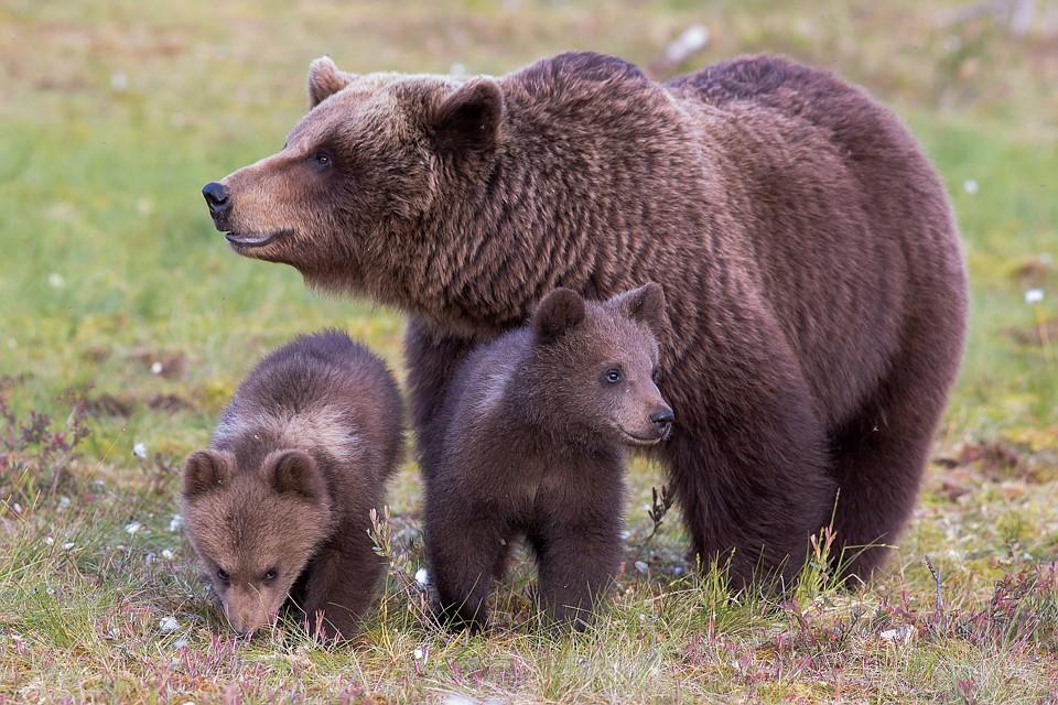 Картинки для детей медведица