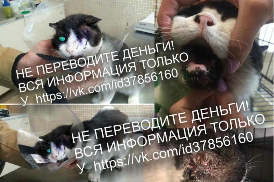 Сбитому машиной коту Бублику из Омска ищут семью