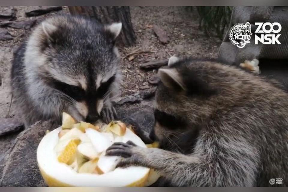 Еноты не дерутся за еду. Фото: скриншот из видео.