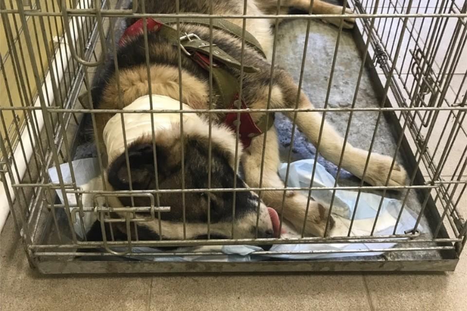 Несчастный пёс попал в хорошие руки. Фото: Бездомные животные г. Нелидово.