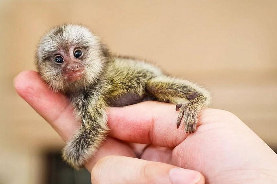 самая маленькая обезьянка гифка