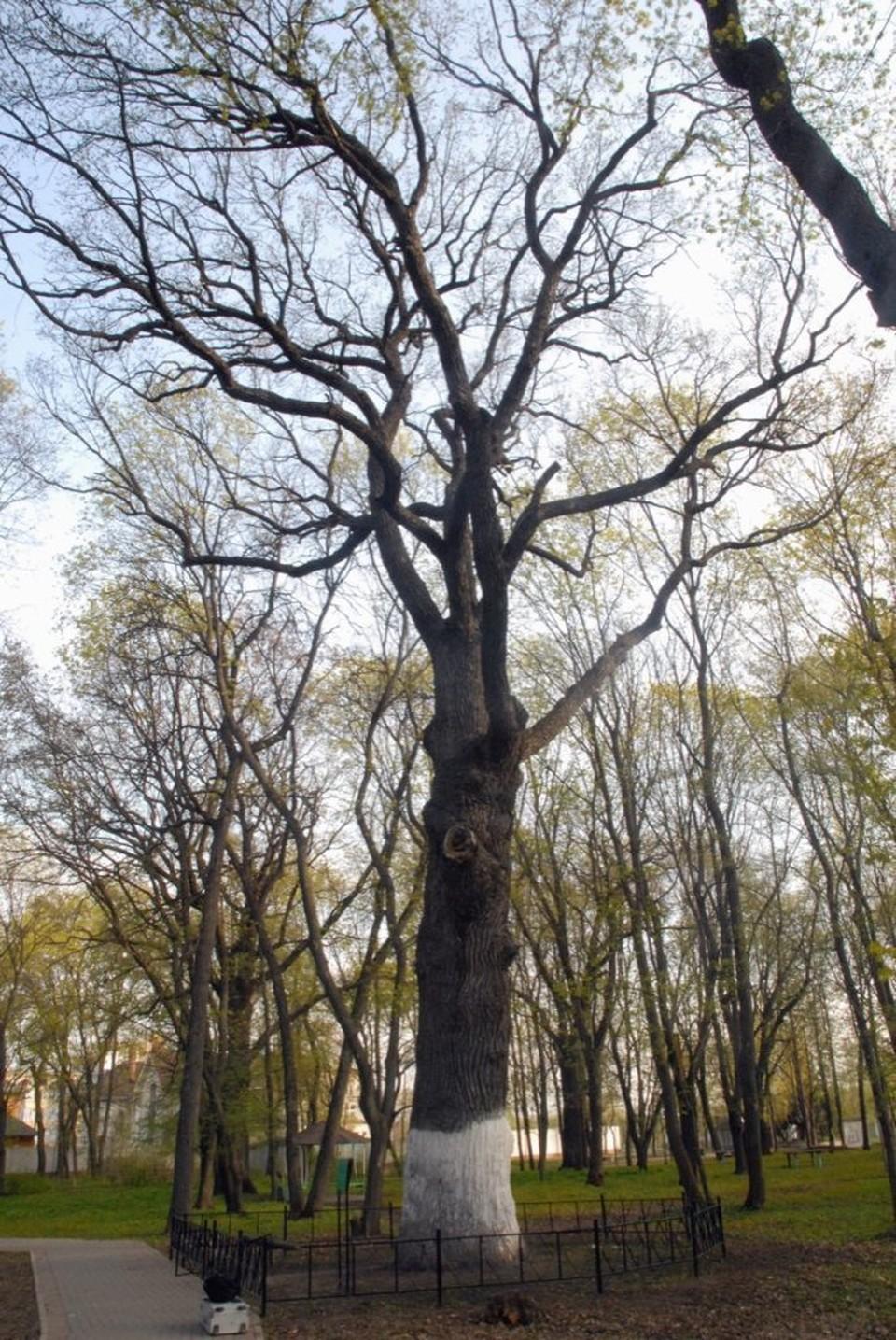 За тамбовский дуб проголосовали более 1300 чееловеек