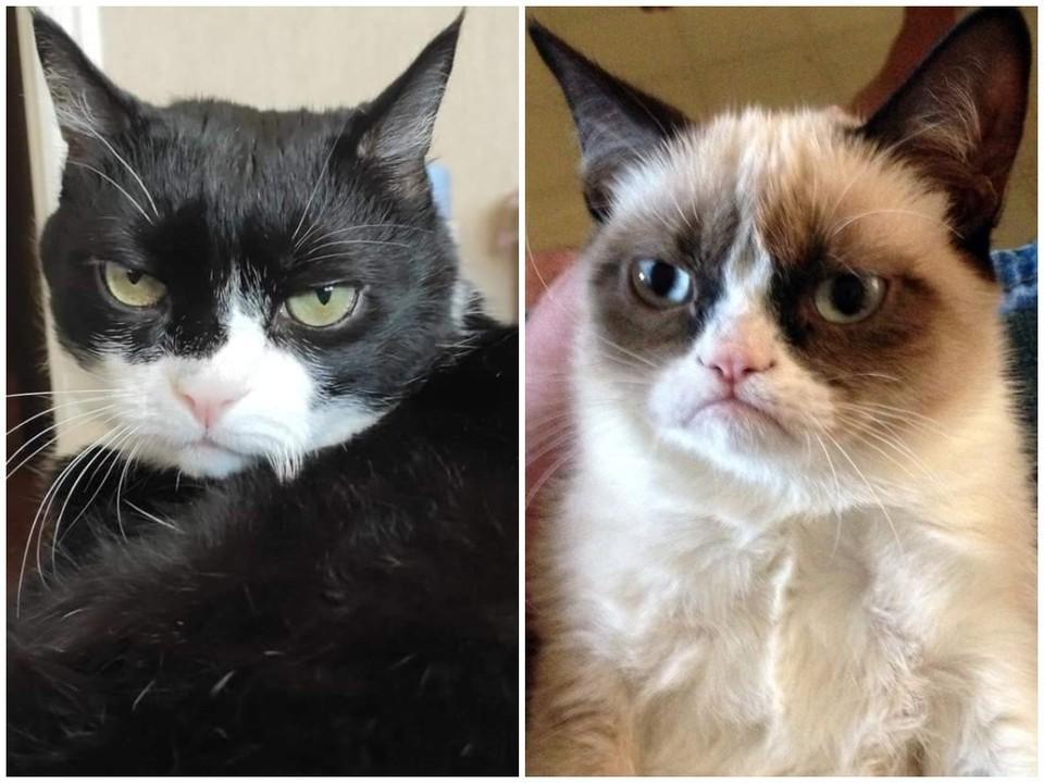 Челябинский кот Максим очень похожего на знаменитую на весь мир сердитую кошку.