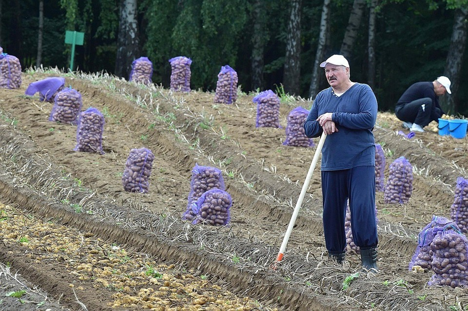 Президент сам каждый год убирает картошку со своего участка. Фото: belta.by