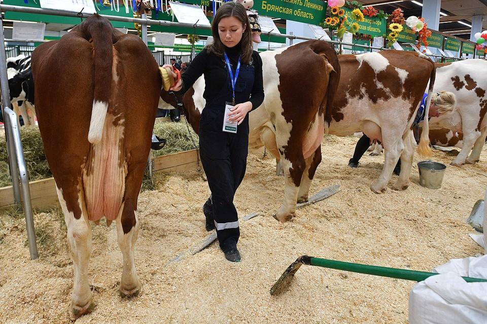 Коровы на Российской агропромышленной выставке `Золотая осень` на ВДНХ.