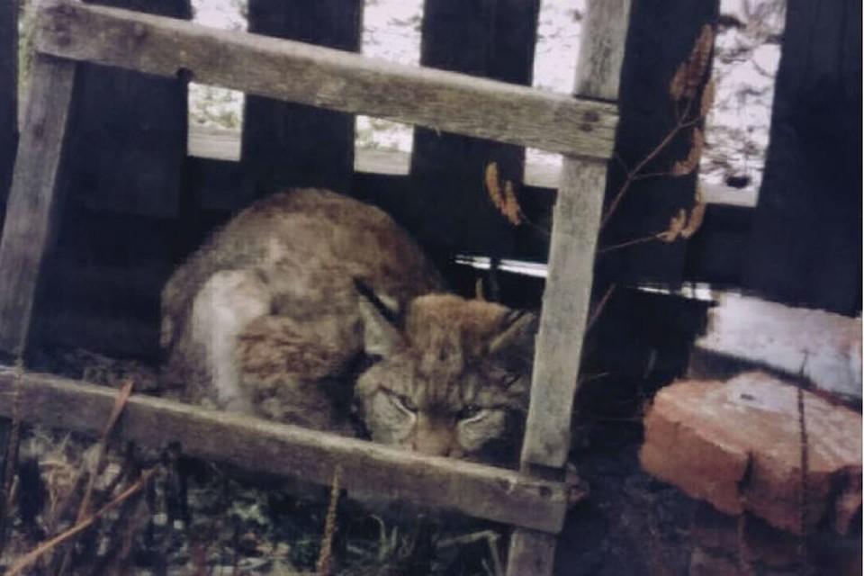 """Рысенка, выбежавшего из леса, спасли от голодной смерти в Братске. Фото: группа """"Инцидент Братск"""" в соцсетях."""