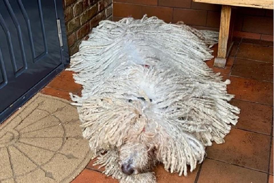 Хангу постоянно сравнивают со шваброй, но это собаку и ее хозяйку совсем не оскорбляет ФОТО: https://www.instagram.com/komondorhanga/