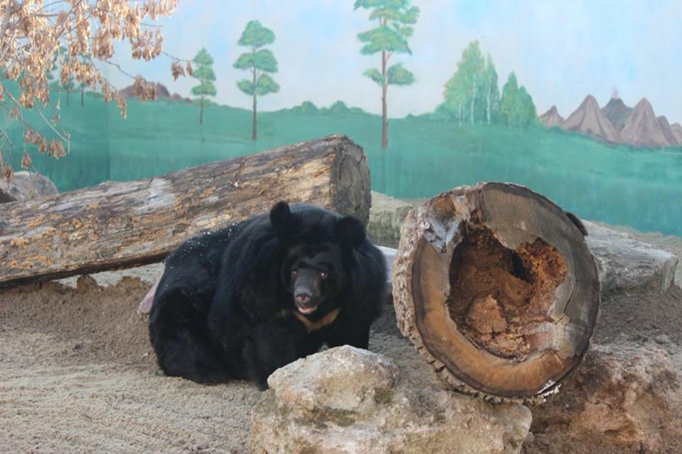 Одноглазая гималайская медведица Даша переехала из «Мишутки» в «Лимпопо».