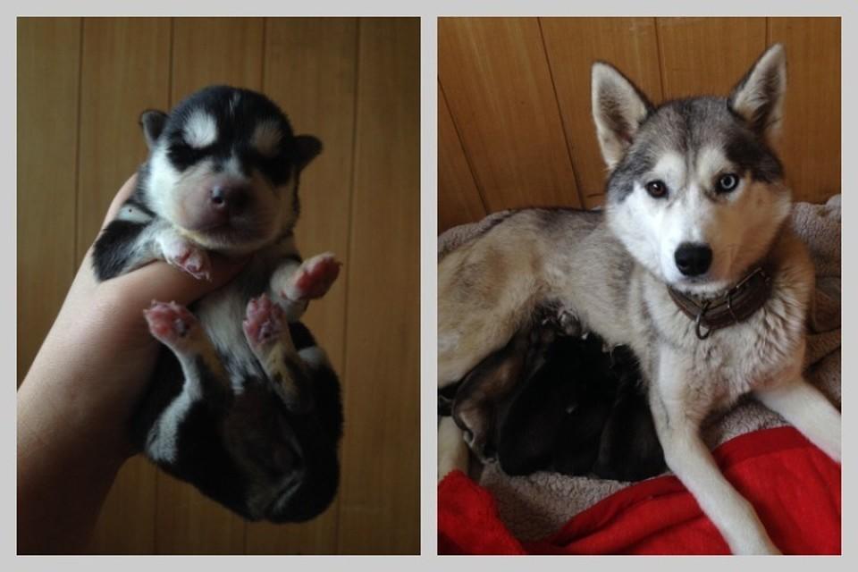 В Красноярске спасли новорожденных хаски, которых хозяин-погорелец решил утопить. Фото: предоставлено героем публикации.