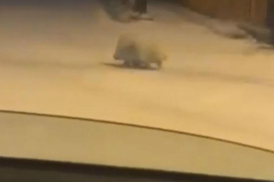"""Побег из зоопарка: дикобраза ловили около торгового центра в Иркутске. Фото: """"Инцидент Иркутск""""."""