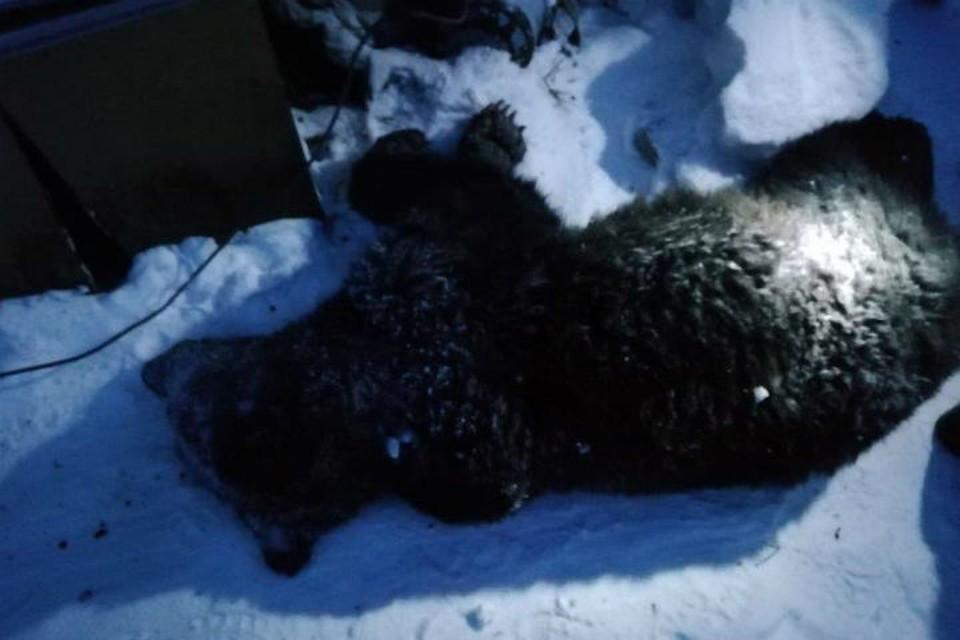 """Тот самый медведь-людоед. Фото: предоставлено """"КП-Иркутск"""""""