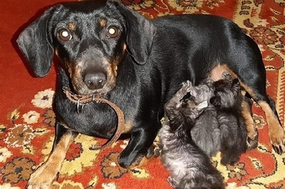 Такса по кличке Линда, которую когда-то спасли с улицы, стала мамой для четырех осиротевших котят. Фото: предоставлено героиней публикации.