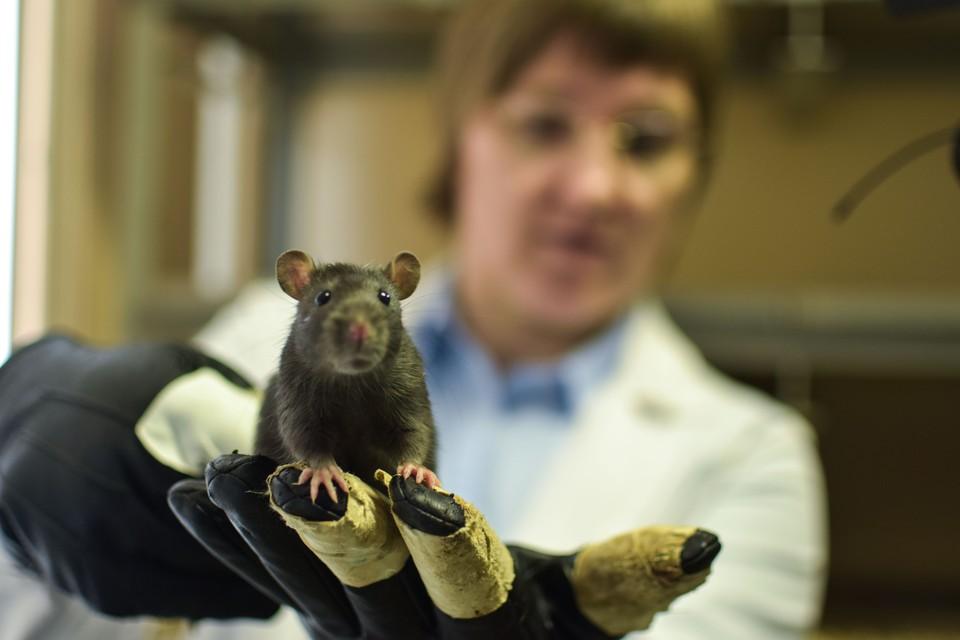 Чтобы подержать агрессивных крыс, нужны специальные перчатки.