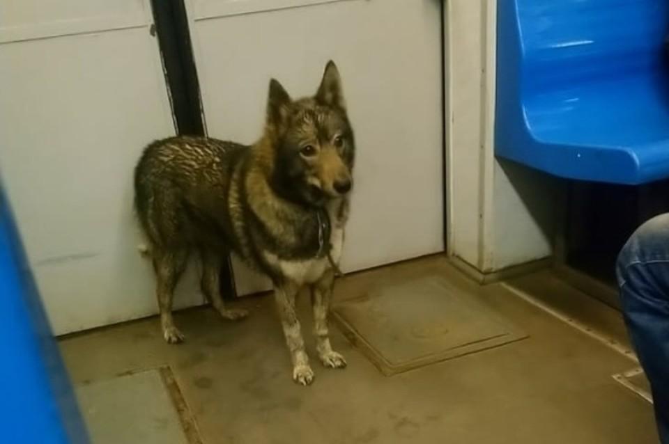 Изначально одинокую собаку заметили в электричке. Она вышла в Красном Селе. Фото: СОЦСЕТИ