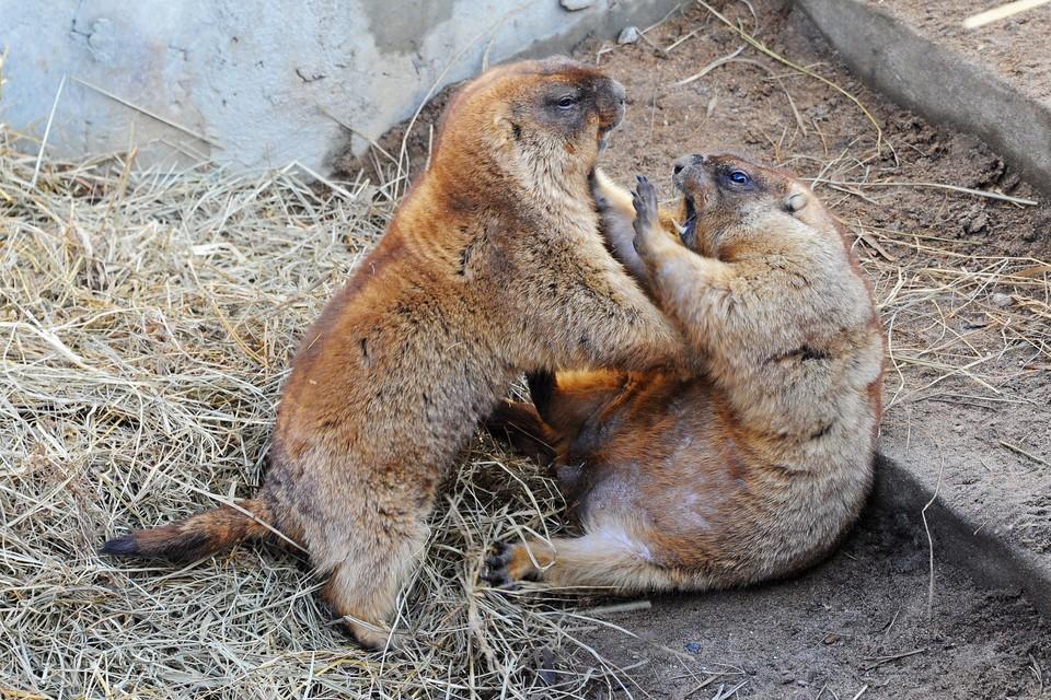 Сурки Московского зоопарка