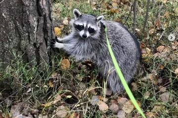 «Поймали на кукурузу и кошачий корм»: Хозяева енота Йокки рассказали, как полтора месяца искали питомца в лесу