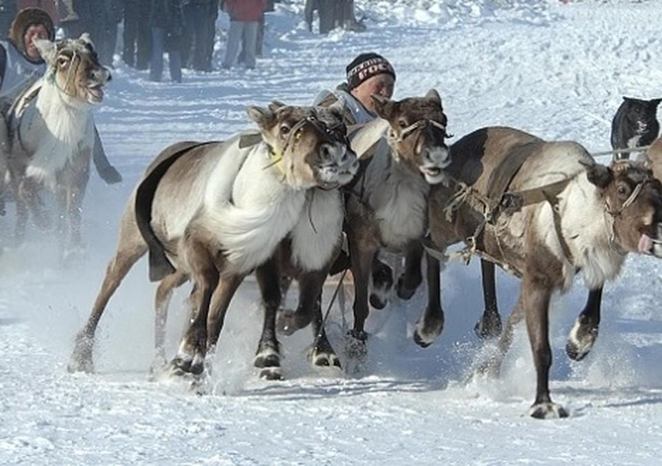 Надым готовится принять соревнования оленеводов Ямала Фото: правительство ЯНАО