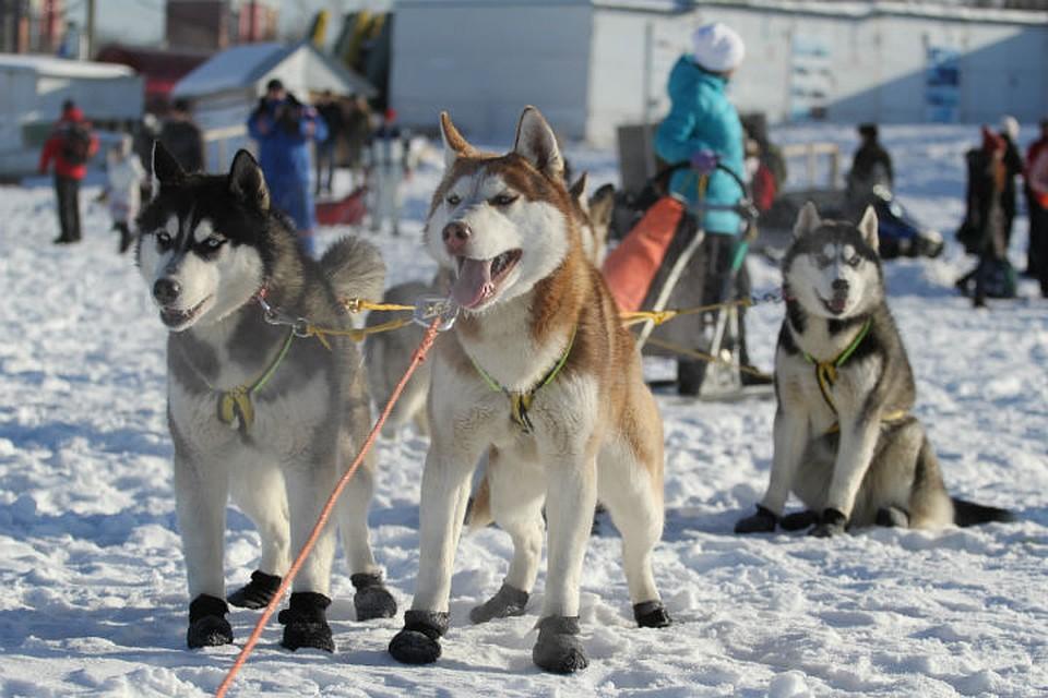 Гонки на собачьих упряжках: 7-9 марта в Иркутске пройдет чемпионат Сибири.