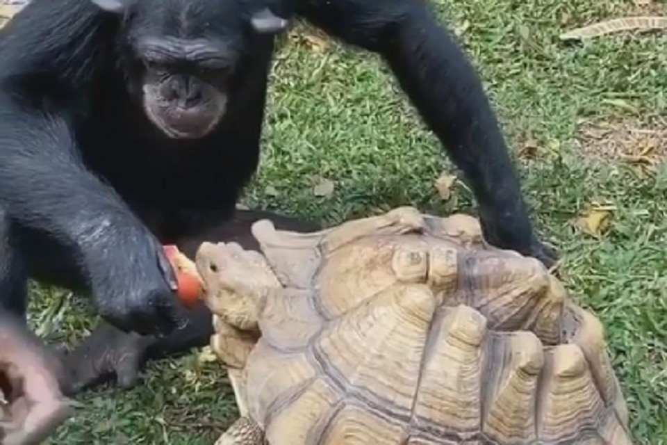 Обезьяна поделилась с черепахой любимым лакомством
