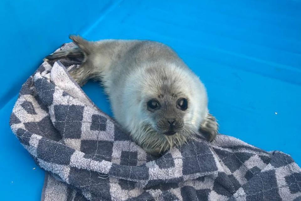 Шесть детенышей нерп и тюленей спасли в Санкт-Петербурге / Фото: Водоканал