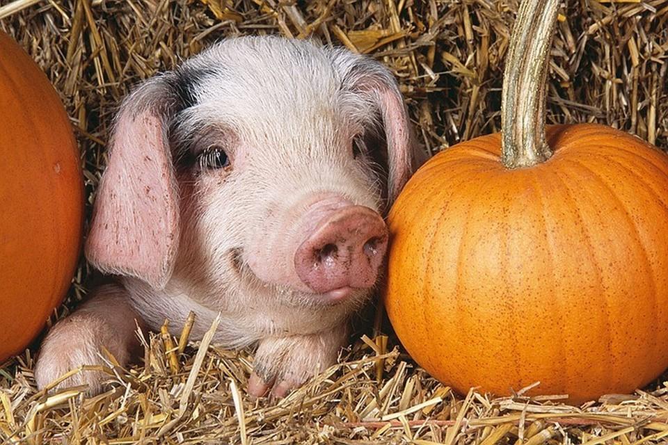 Свиней в США выращивают более 60000 фермерских хозяйств и агрокомплексов.