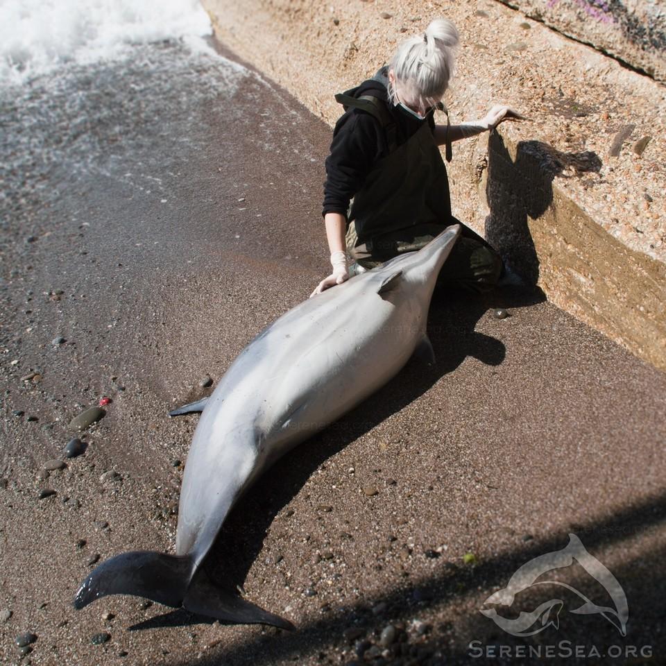 Масштабная гибель дельфинов наблюдается весной. Фото: центр реабилитации дельфинов «Безмятежное Море»