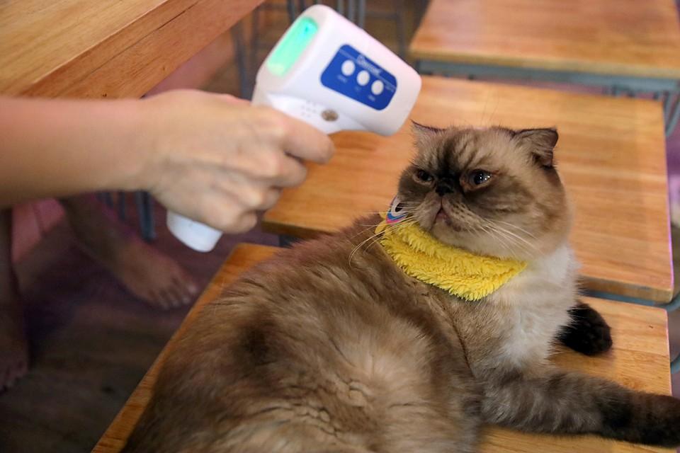 Экспериментаторы заразили трех кошек человеческим коронавирусом