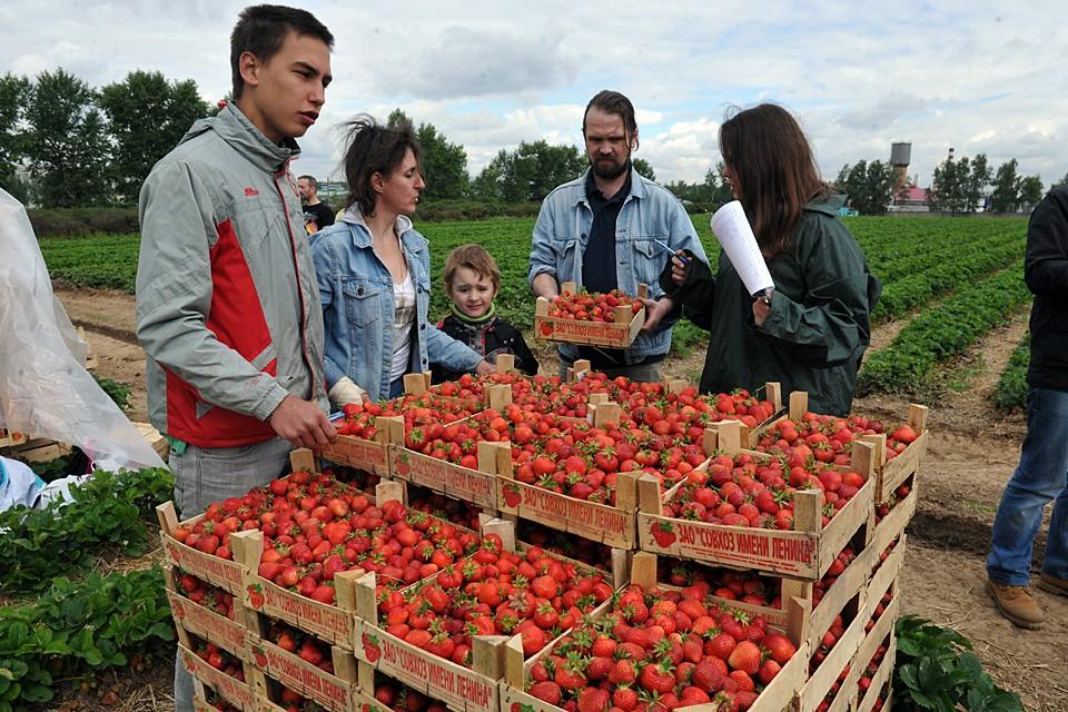 Из-за нестабильной погоды сложно предугадать созревание ягоды на полях Подмосковья