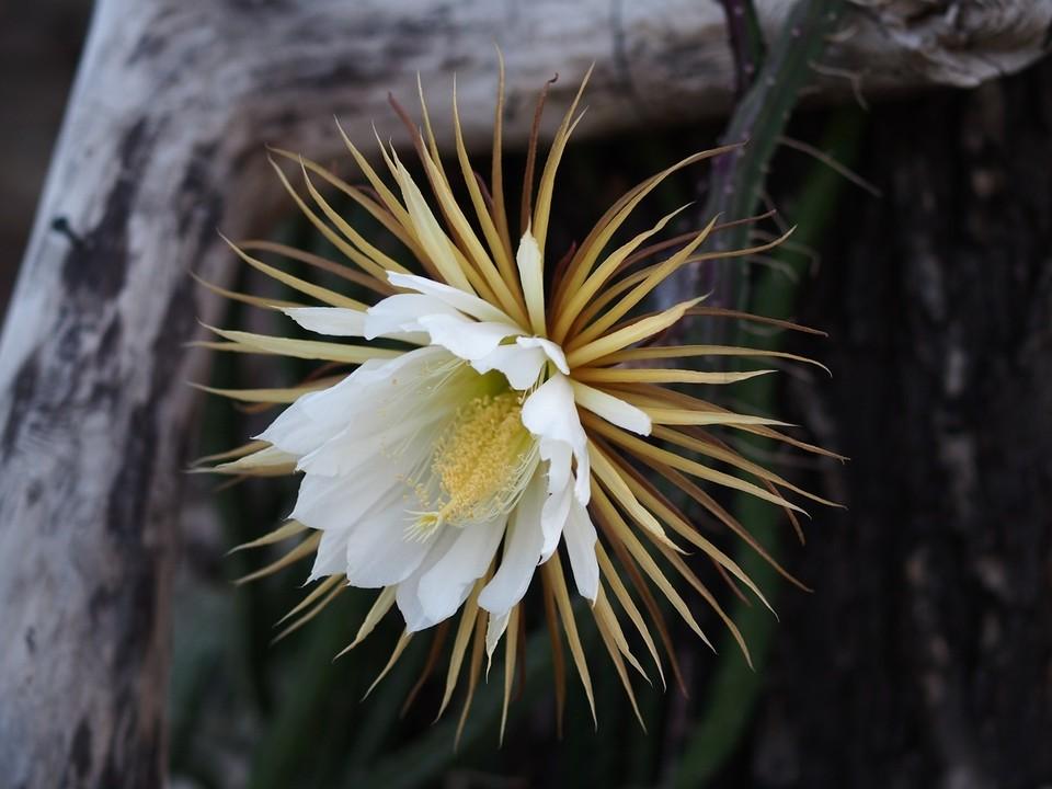 Кактус Selenicereus macdonaldiae считается одним из самых красивых в мире. Фото: Ботанический сад БИН РАН