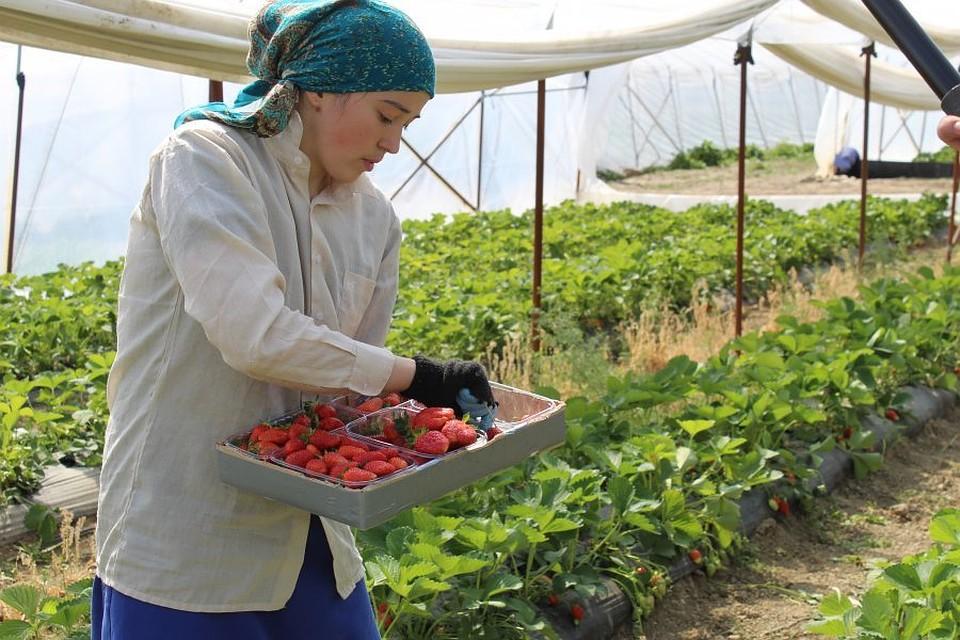 В Севастополе собрали треть урожая клубники