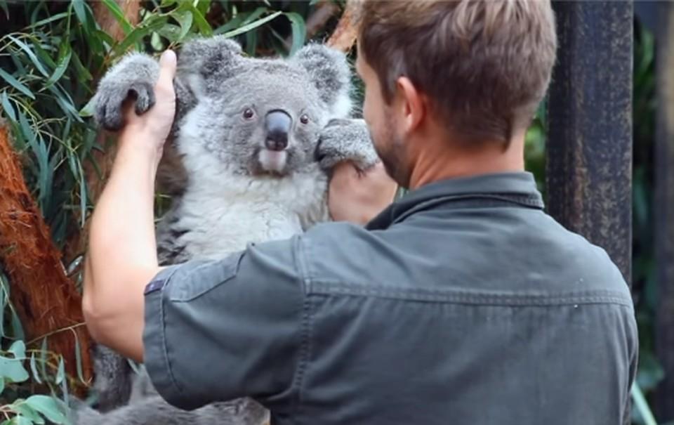 В Австралии отмечают рождение первой коалы после страшных лесных пожаров