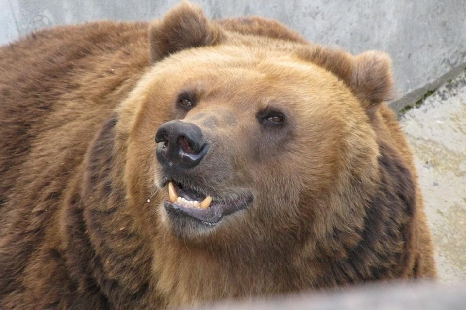 Медведя до сих пор не нашли.