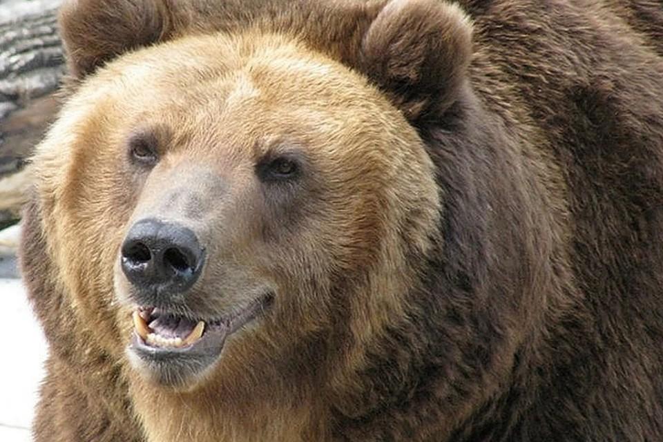 В Красноярском крае медведь задрал женщину.