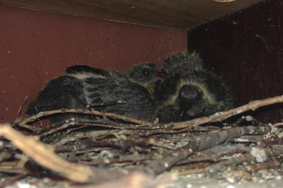 Весной на моем балконе свили гнездо самые настоящие голуби.