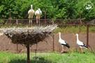Первый пошел: птенцы Русланы и Гоши начали вылетать из гнезда