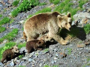 У медведя, который загрыз мальчика в Сочи, сработал инстинкт хищника