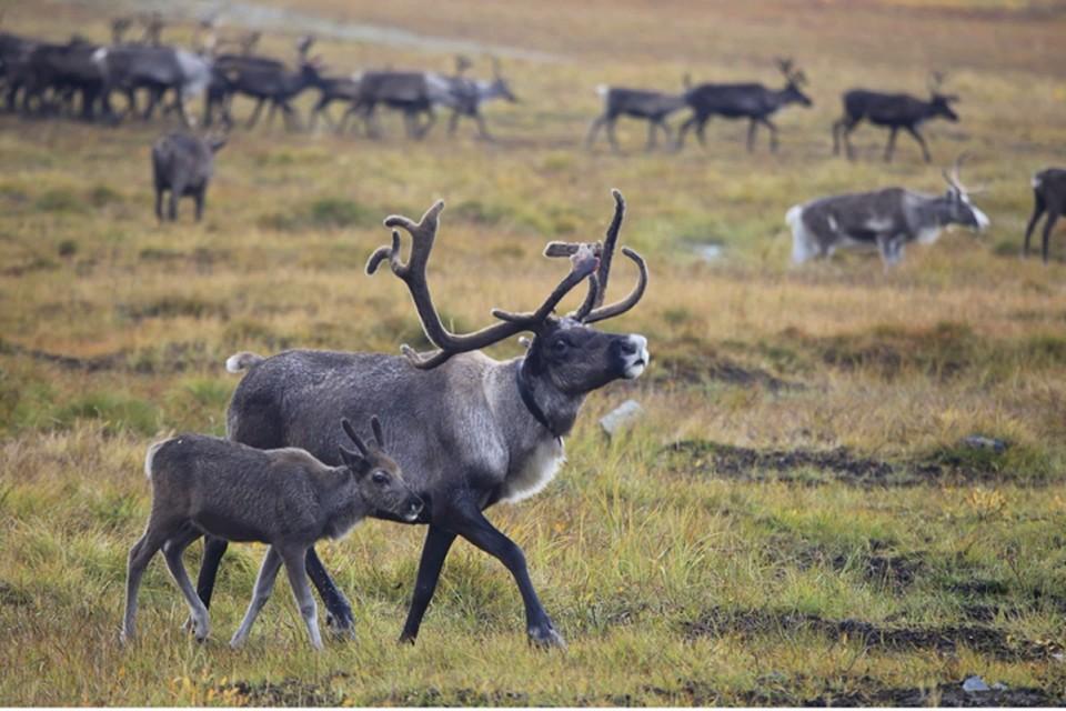 На Ямале исследуют генетику ненецкой породы северного оленя Фото: yanao.ru