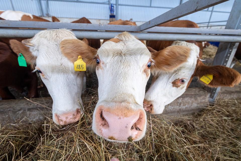 Россельхознадзор запретил по РФ перевозку скота и птицы с Украины