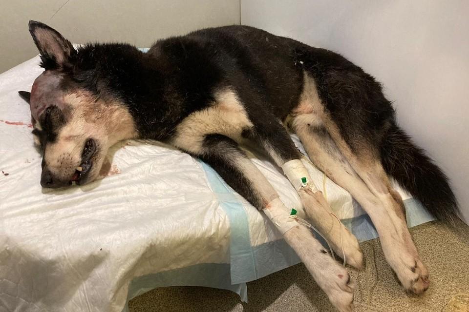 Жизнь избитому псу спасают ветеринары. Фото: vk.com/club126032008