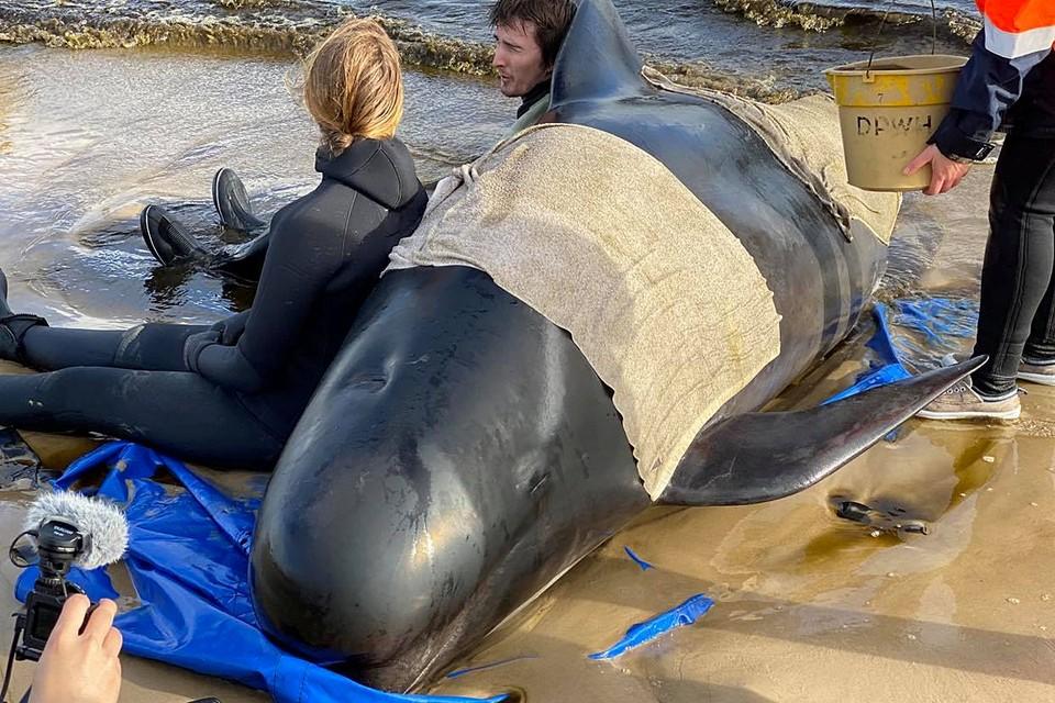 По меньшей мере 380 дельфинов-гринд погибли, выбросившись на мелководье у побережья австралийского штата Тасмания. 50 дельфинов удалось спасти, жизнь еще 30 находится под угрозой