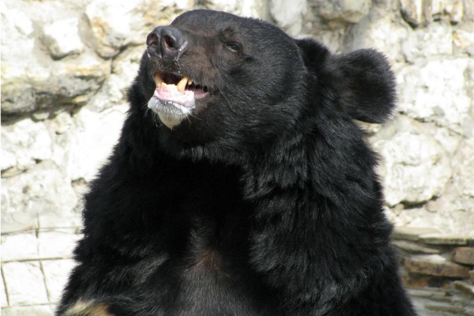 Медведь, блуждавший по Южному, сам ушел из Хабаровска