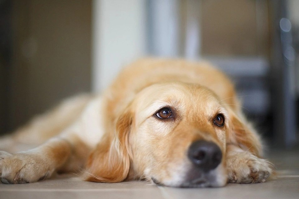 Температура у собак: какая считается нормальной, как измерить