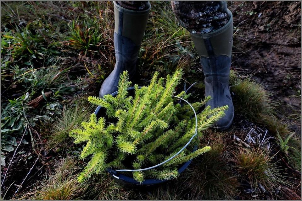 Всего до окончания осени в рамках акции «Сохраним лес» в Ленобласти будет высажено более 3,9 млн сеянцев и саженцев сосны и ели, что покроет площадь 1,4 тысячи гектаров