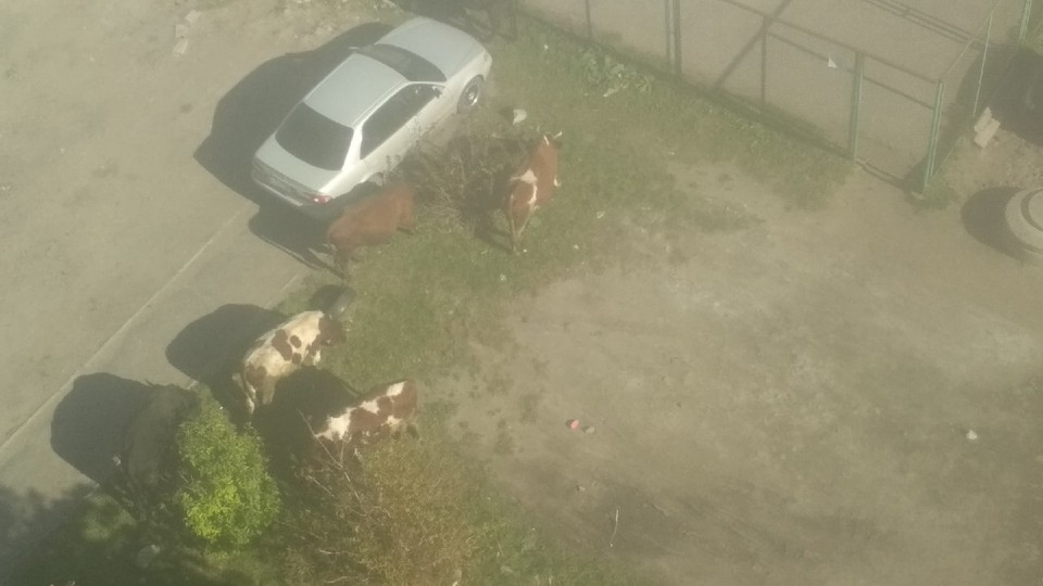 Стадо коров выгуливали во дворе жилого дома.