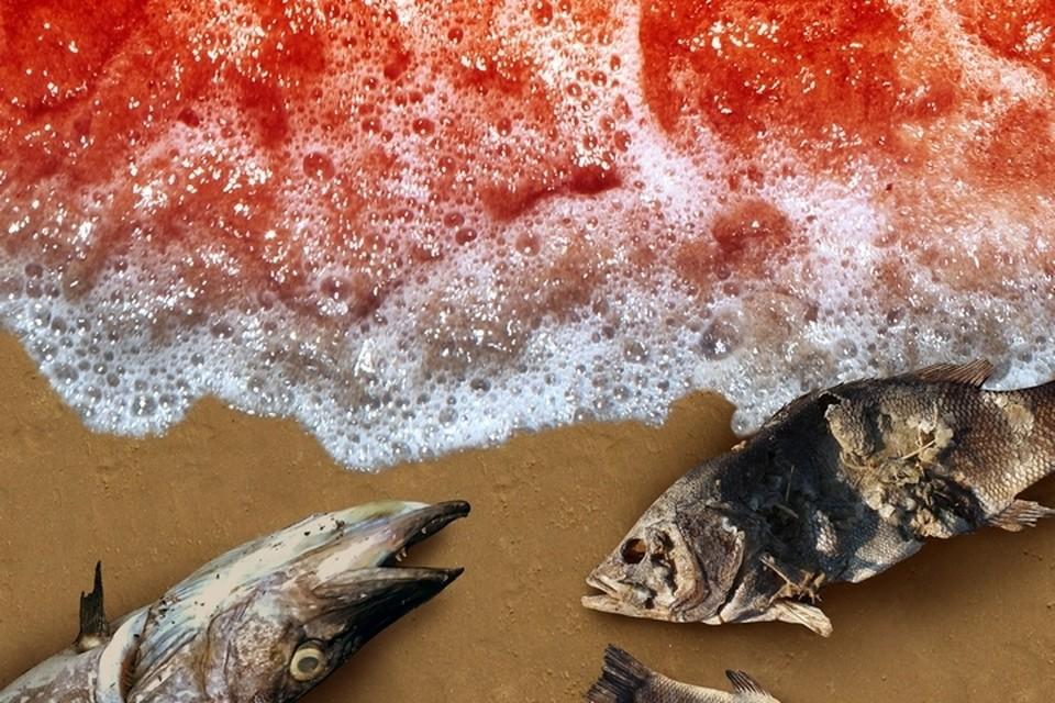 Ученые полагают, что «красный прилив» спровоцировал гибель морских организмов в Авачинском заливе на Камчатке.